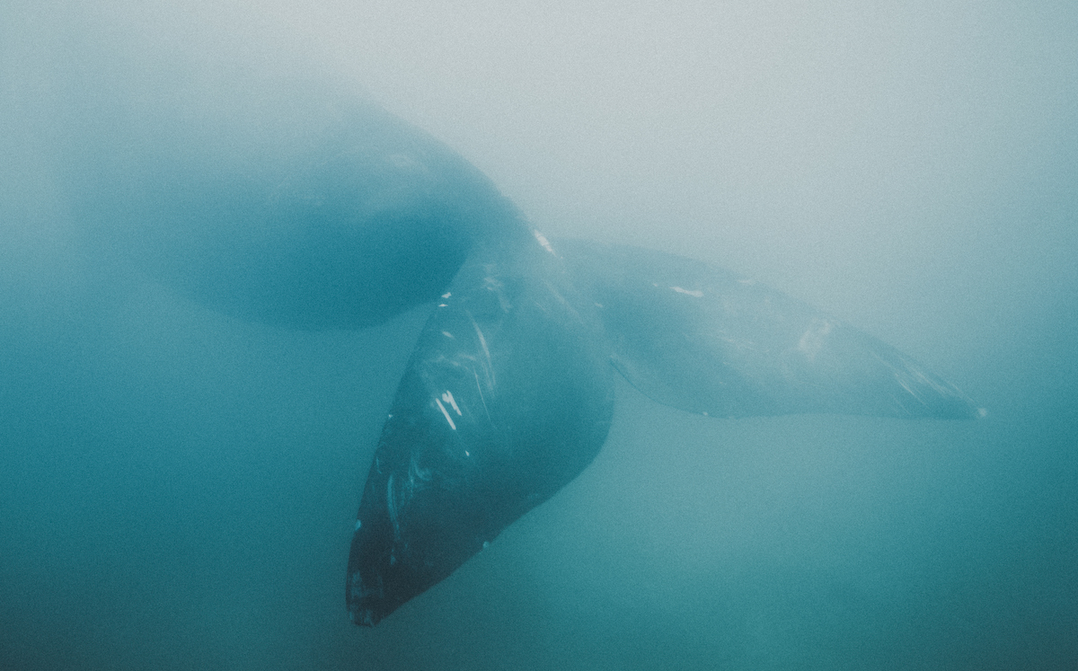 Right whale, Puerto Pirámides, Argentina. Photo: Kevin Zaouali