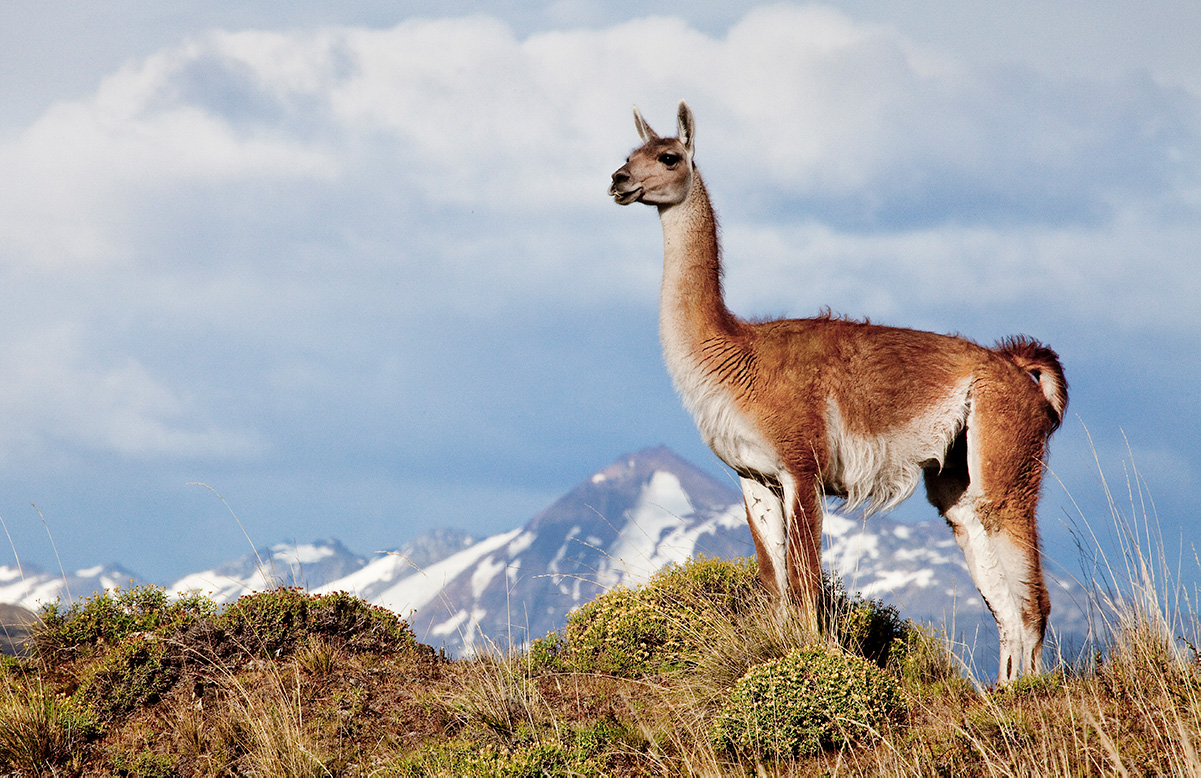 Guanaco in Patagonia National Park. Photo: Linde Waidhofer.