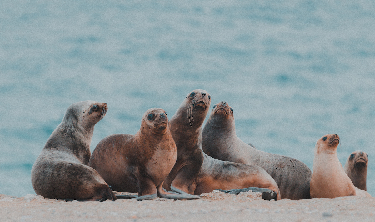 Sea lions, Puerto Pirámides. Photo: Kevin Zaouali