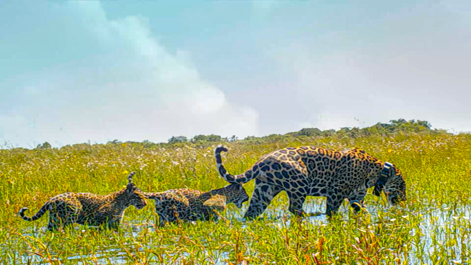 Mariua and cubs in Iberá. Photo: Tompkins Conservation