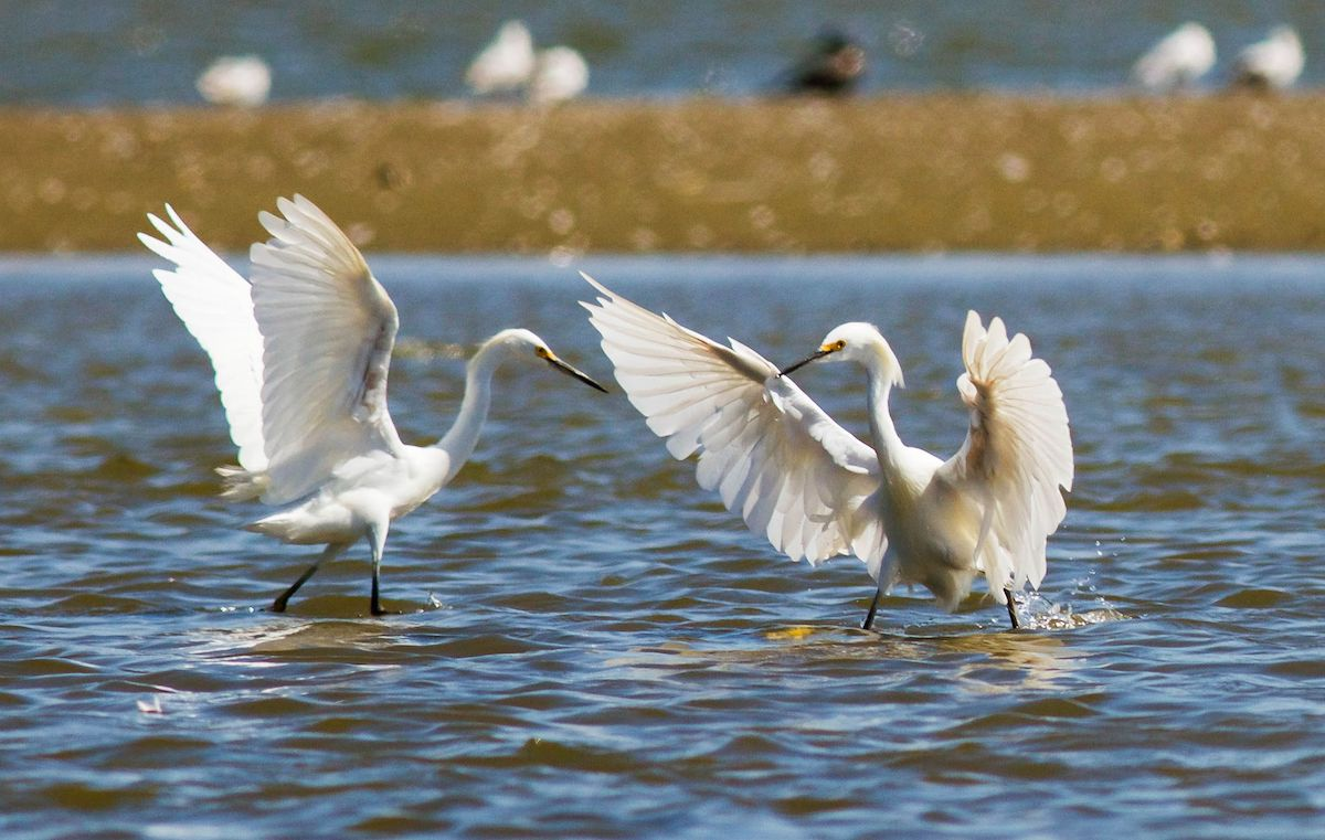 Great egrets. Photo: Samuel Lizana