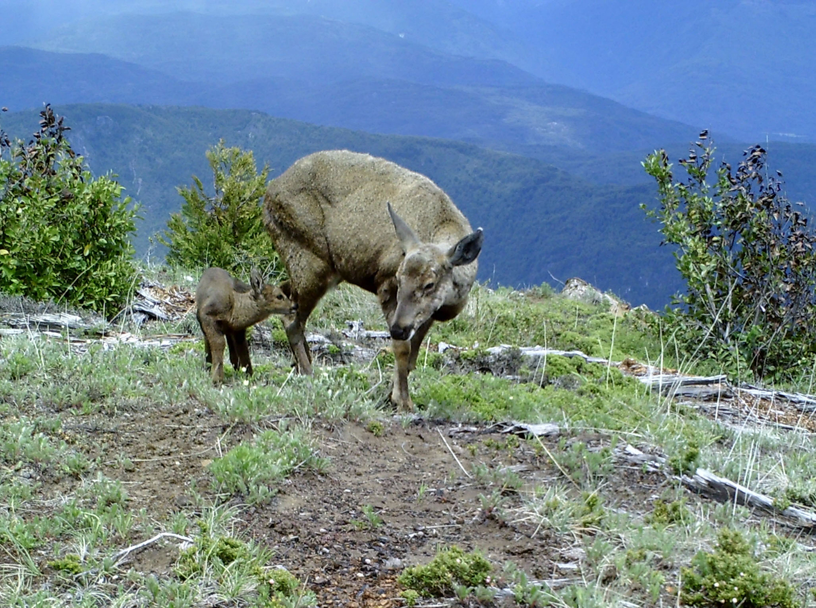 Found in both Chile and Argentina, the huemul is increasingly restricted to remote sectors that are difficult to access. Photo: National Geographic Society