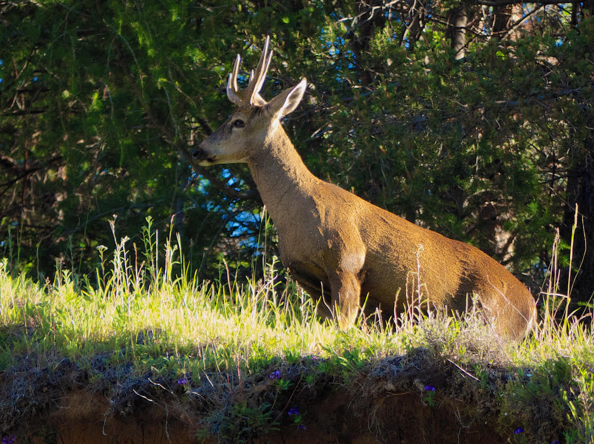 A wild huemul photographed near Chile Chico. Photo: Charles Brooks